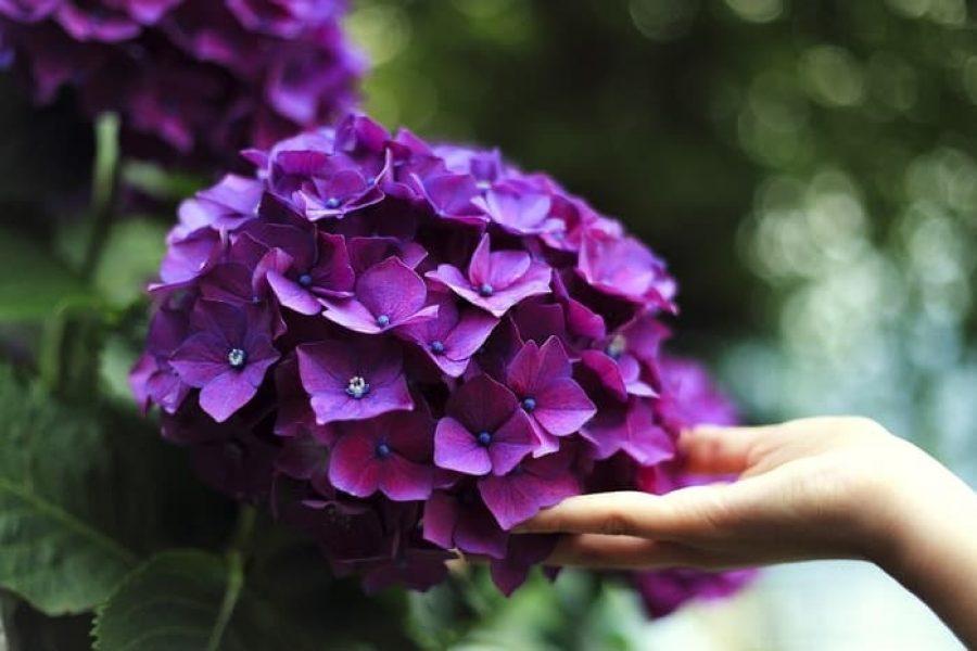 hortensja królowa ogrodu