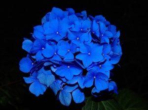 hortensja ogrodowa niebieska