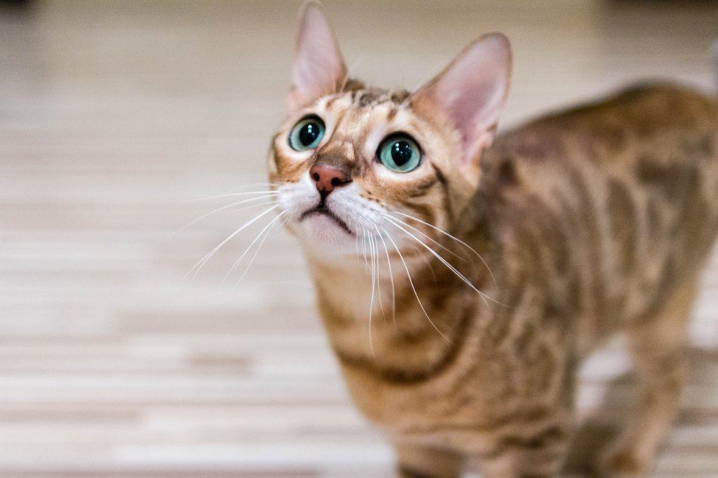 dla kogo kot bengal
