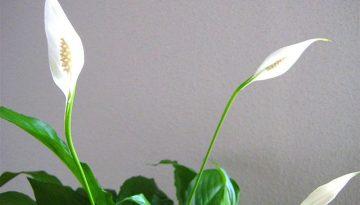 Kwiat doniczkowy do domu - skrzydłokwiat