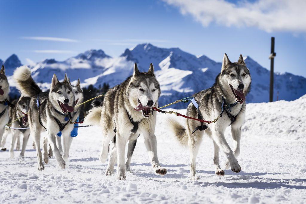 rasy psów podobne do wilka w zaprzęgu