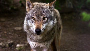 rasy psów podobne do wilka