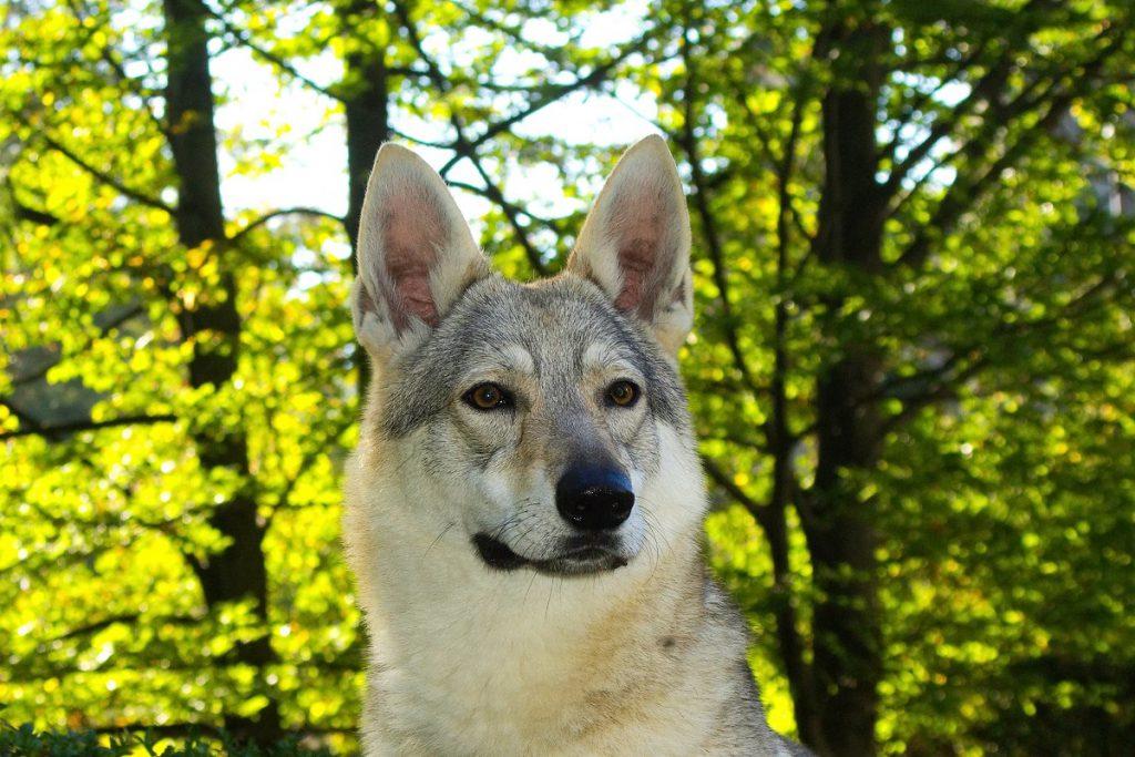 dla kogo rasy psów podobne do wilka